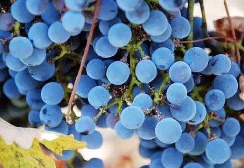 朱卫东:葡萄的成份