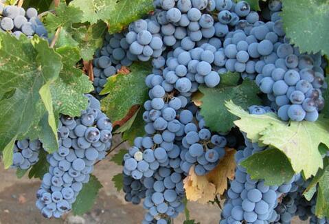 葡萄的种类很多,但是这4个品种你一定要知道