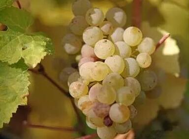 葡萄品种之白麝香