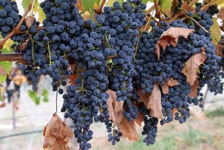 浅谈一下佳美娜这种酿酒葡萄