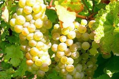 雷司令干白葡萄酒,最好的白葡萄酒!