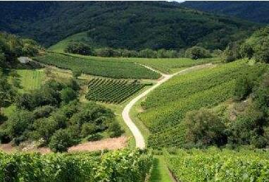 意大利苏瓦韦(Soave)产区的葡萄酿造