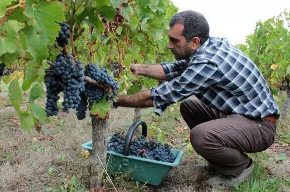 葡萄酒是怎么做的?葡萄酒的酿造方法