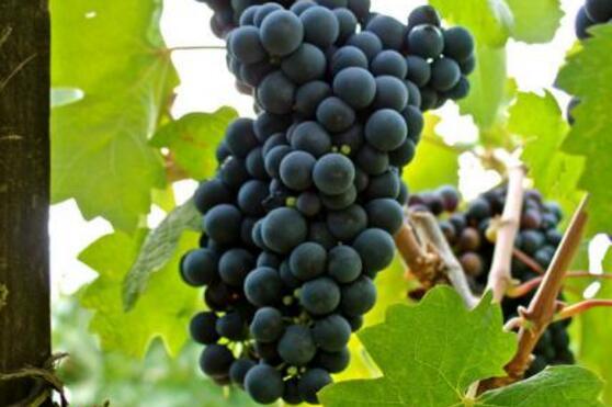 知名的5个意大利葡萄品种