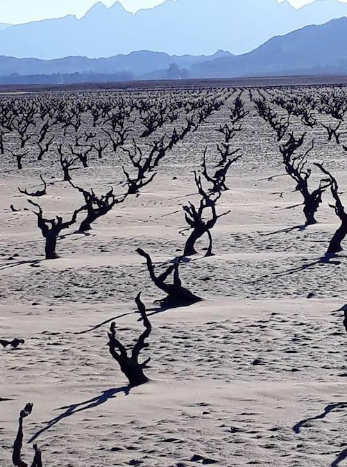 2017年南非西开普遭遇严重干旱,2018年葡萄收成或将减产50%