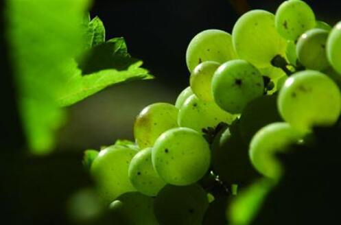 是什么塑造了长相思白葡萄酒的风格?