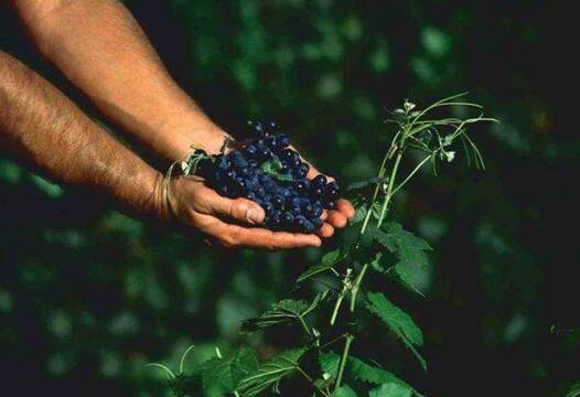 欧洲葡萄酒园:摩尔多瓦葡萄酒简介