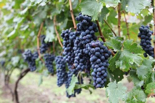 浅谈通化葡萄酒