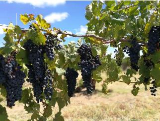 南澳多个葡萄产区减产,影响葡萄酒价格上涨