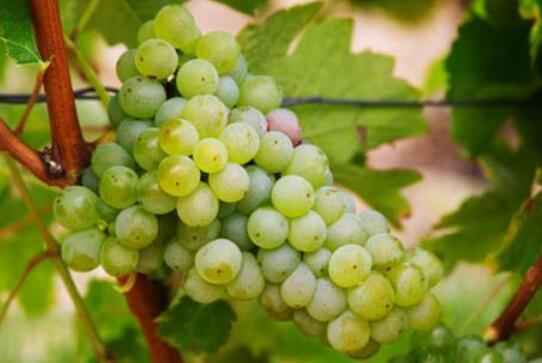 酿酒葡萄长相思,你怎么那么美?