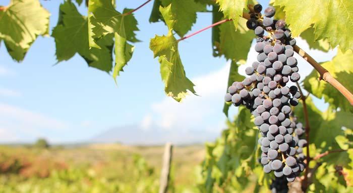 盘点意大利的十大葡萄品种
