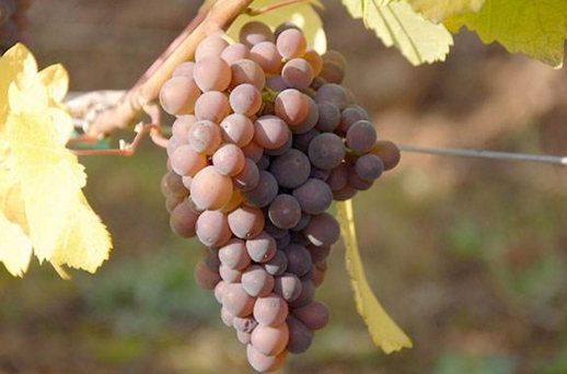 灰比诺葡萄酒 干净简单的白葡萄酒酿酒葡萄