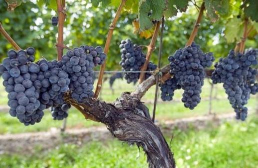 西拉葡萄酒 盘点西拉葡萄酒特点产区