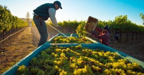红酒酵母的作用 酵母菌对葡萄酒有什么作用