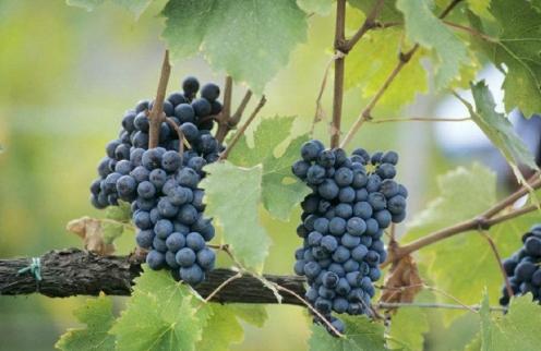 红酒的葡萄品种 分析酿酒葡萄的风味特点