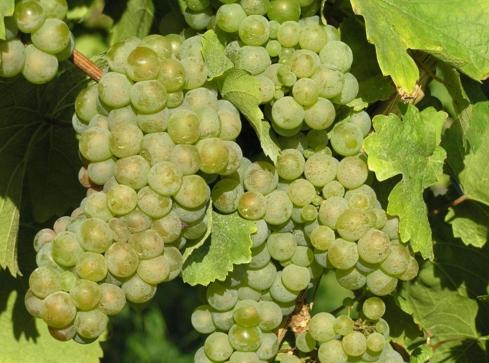 白葡萄酒的葡萄品种 常见的酿酒白葡萄