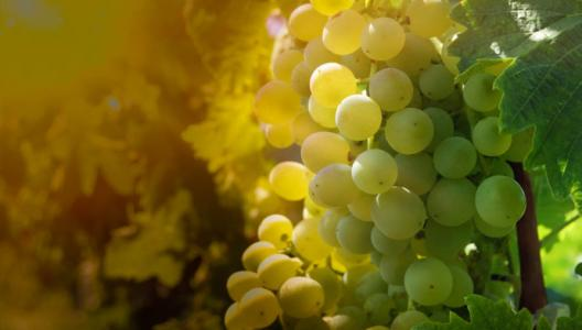 葡萄浆果的糖分积累是酿酒葡萄品质的指标之一