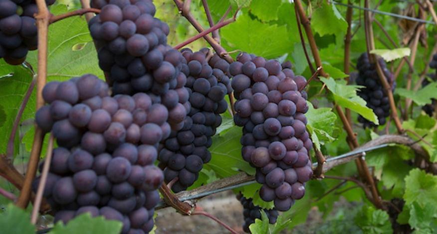 埃奇菲尔德酒庄(Edgefield Winery):美国经典酒庄
