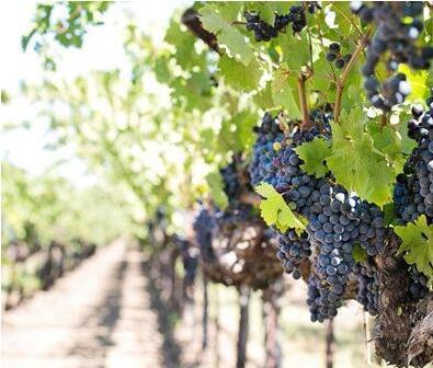 2018年意大利葡萄产量将增长15%