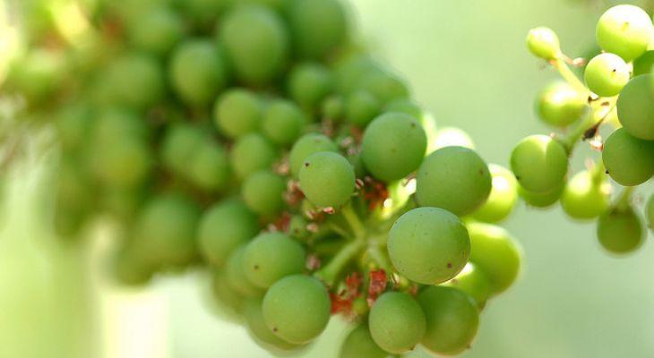 与2017年相比,2018年法国葡萄酒产量将增长27%