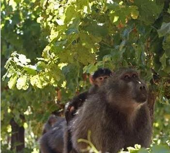 南非政府允许当地酒庄捕杀狒狒
