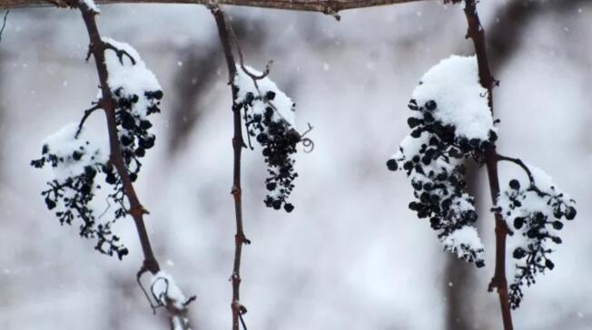 关于冰酒的7个独特见闻