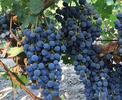"""玛纳斯县通过""""小酒庄""""拉动""""大产业""""来发展酿酒葡萄产业"""