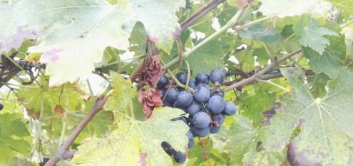 2018年意大利葡萄采收状况不错