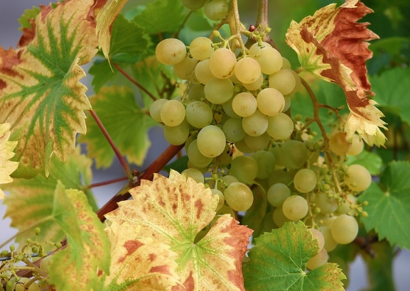 白歌海娜葡萄酒的特点是什么?