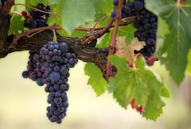 比诺葡萄酒品尝指南