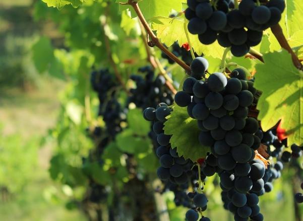 美国黑比诺葡萄种植特点