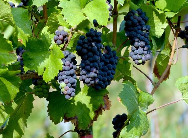 梅洛葡萄酒的简单知识指南