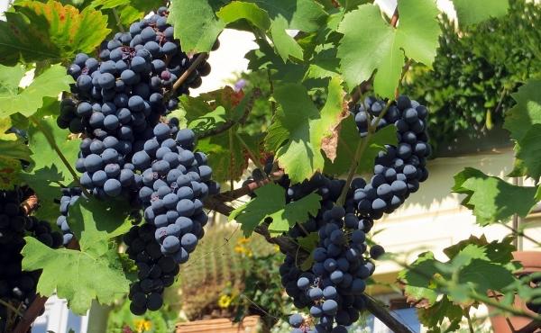 葡萄酒酿酒葡萄品种——赤霞珠指南