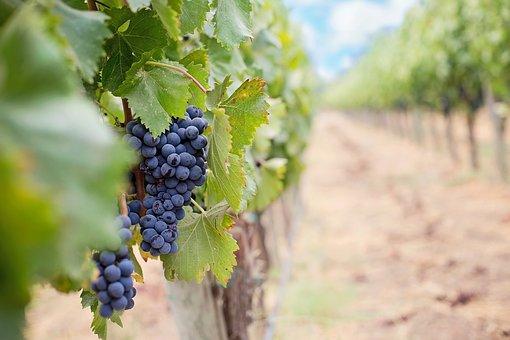 为什么高温酷暑会使葡萄早熟呢?