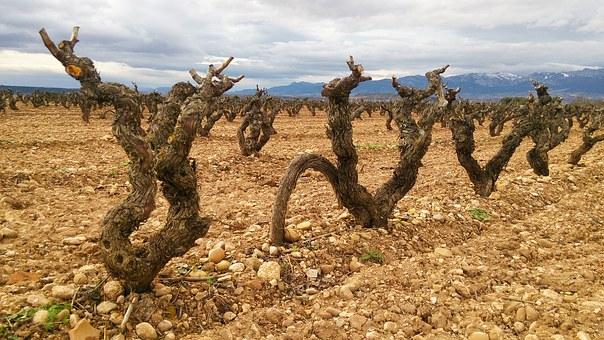 贫瘠的土壤才能酿出好酒?
