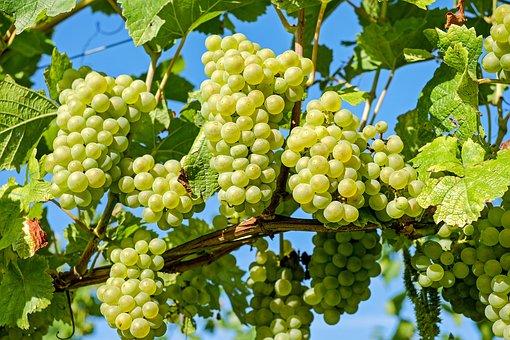 为什么说酸葡萄会比甜葡萄的营养更高呢?