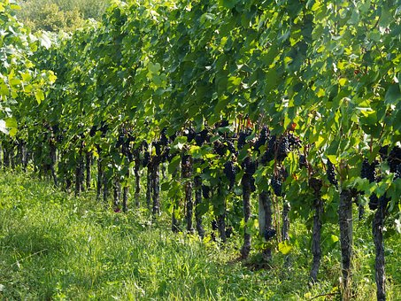卢瓦尔河谷的品丽珠葡萄酒,大家有没有去体验过呢?