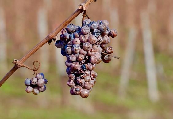 葡萄酒晚收是什么意思?