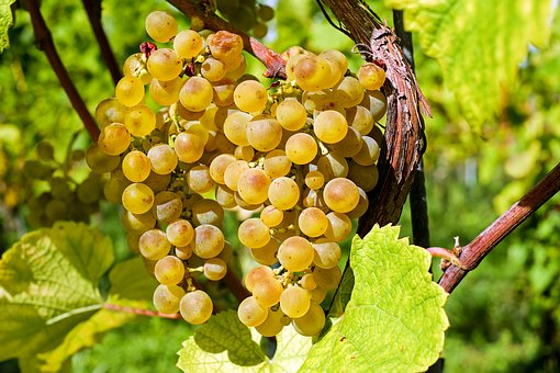 大家是否知道葡萄穗轴褐枯病的危害和防治措施是怎样的呢?