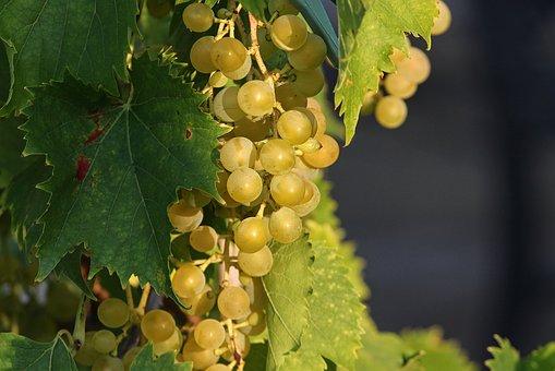 不同颜色的葡萄其营养价值有着怎样的不同之处呢?