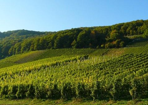 你们知道为什么新西兰适宜葡萄种植面积会被扩大呢?