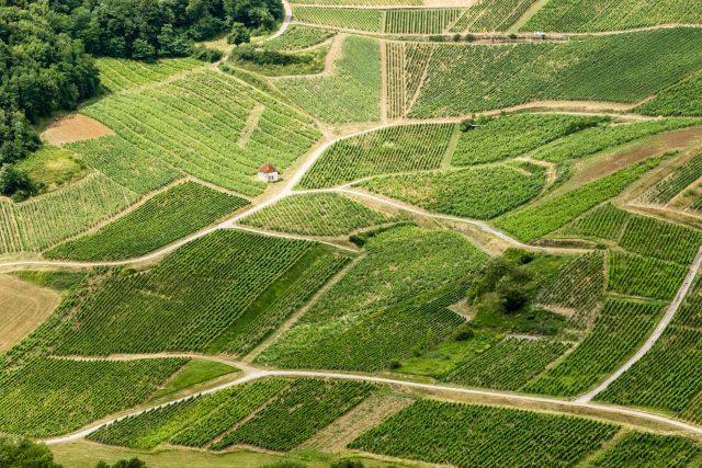 最新研究:萨瓦涅葡萄品种已经存活了900年时间