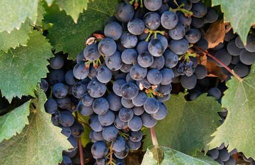 红酒要用什么葡萄?