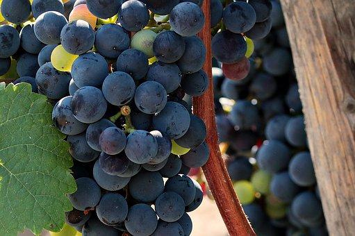 你们知道葡萄成熟时候是主要看什么的吗?