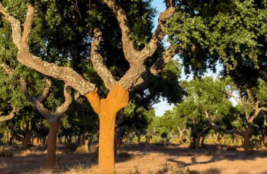 全球软木塞产量达到20.1万吨
