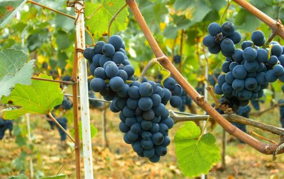 vineyards是什么意思?