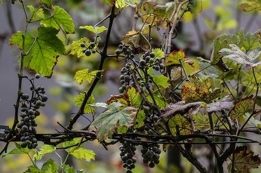 红葡萄品种——赤霞珠葡萄