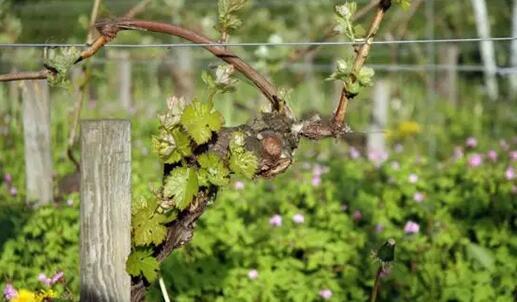 有机葡萄酒有望成为下一个风口?
