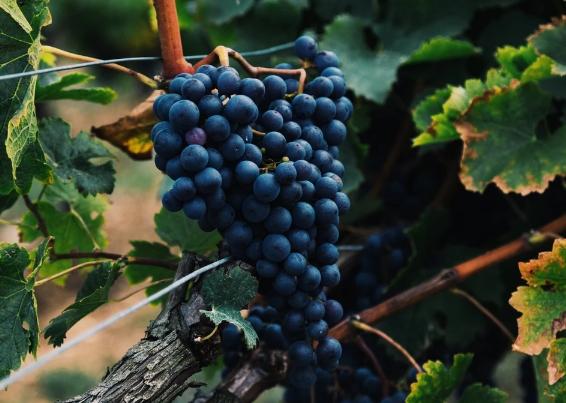 酿酒葡萄品种:歌海娜(Grenache)