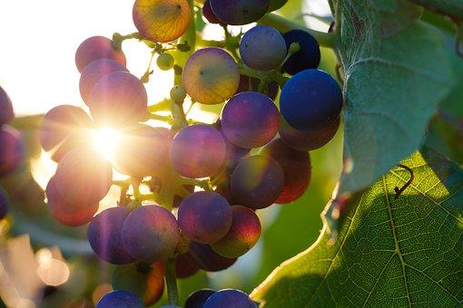 一些酿造红葡萄酒的优良品种